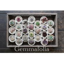 【2F】多肉植物のお店『Gemmafolia』期間限定で再登場!