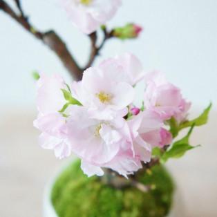 毎年恒例のミニ盆栽販売会『春の石木花市』